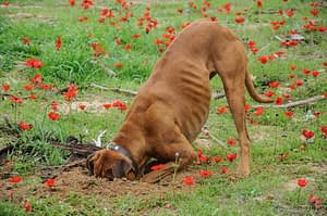 dog digging a hole in real grass